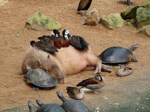 カピバラと他の動物たち16