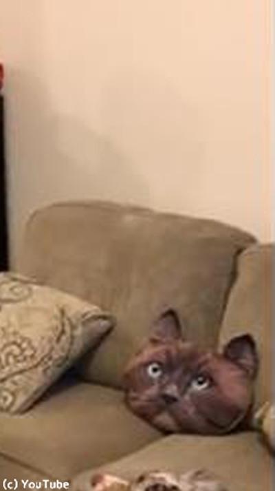 猫クッションを怖がる犬かわいい01