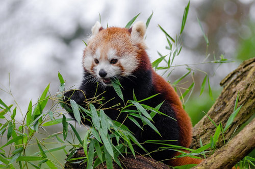 笹を食べるレッサーパンダ05