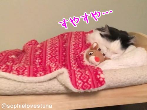 猫のソフィちゃんは毎晩こうやって寝る00