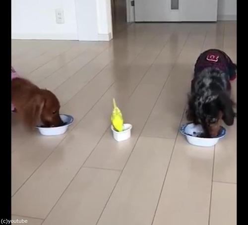 犬と並んでご飯を食べるインコ04