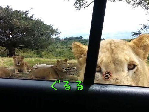 サファリパークでライオンがドアを開けた00