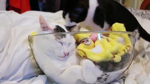 透明なボウルを猫のイスにすると06