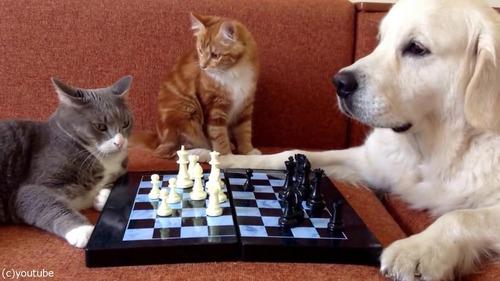 猫がチェスの審判をすると…01