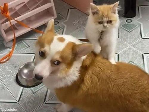 猫、ご飯を食べる犬のおなかをマッサージしてあげる05