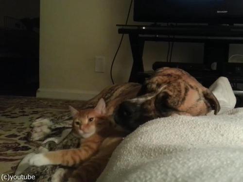 犬と猫が出会って2週間後04