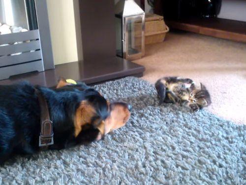 子猫と遊びたい犬…でも大きさが違い過ぎて01