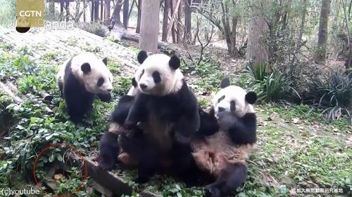 ドジっ子パンダ「おやつが見つからないの」01