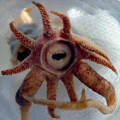 まるで人間のような歯を持つ深海のイカ01