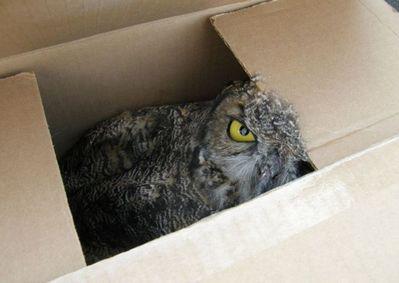 箱の中のフクロウ05