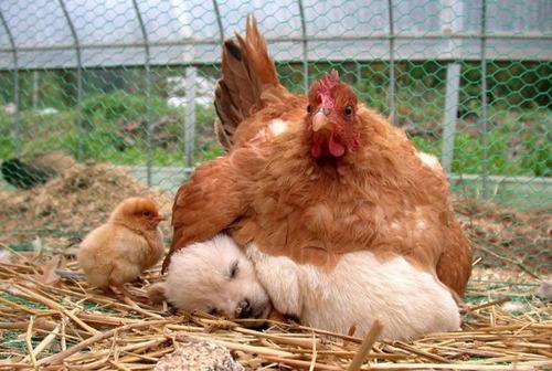 ニワトリのママ01