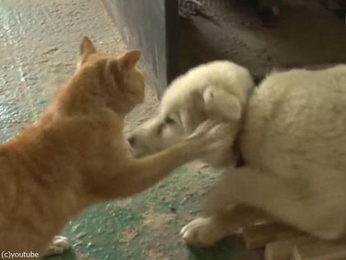 ヒヨコを育てる猫の…パパ04