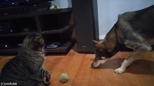 ボールで遊びたい犬と猫03