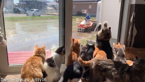 田植えに夢中な猫たち01