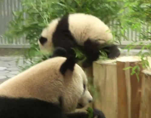 重力を知ったパンダの赤ちゃん01