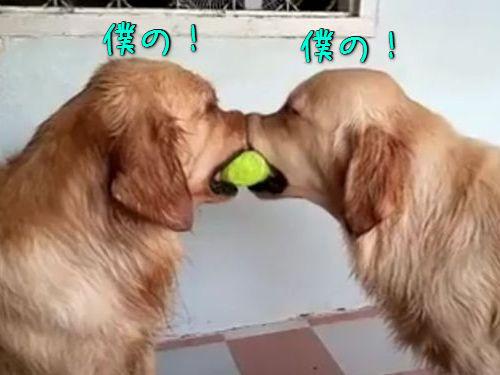 ゴールデンレトリバーとテニスボール(00