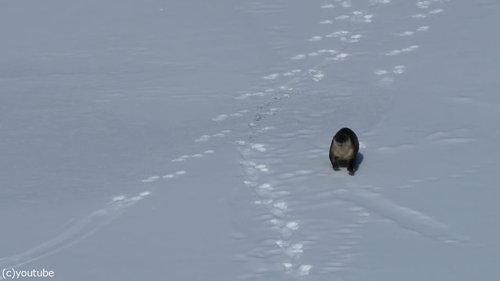 雪をすべるカワウソ01