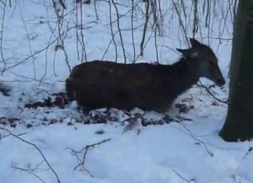 湖に落ちた鹿を救助03