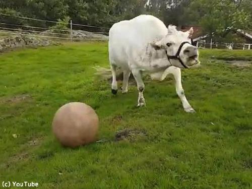 1001牛もボール遊びをするんだなぁ00