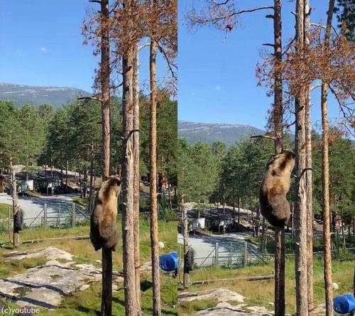クマの木登り能力01