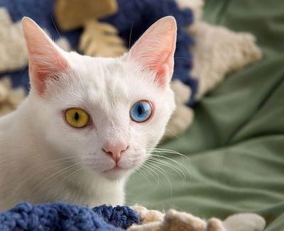 宝石のように美しい左右の瞳の色が違う猫02