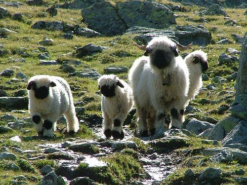 世界一かわいい羊10