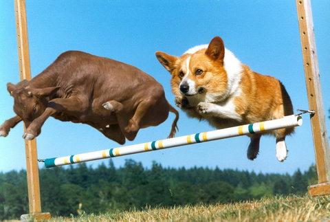 牛のジャンプ力を16