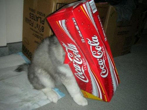 猫みたいなハスキー犬13