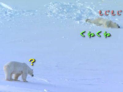白クマの求愛