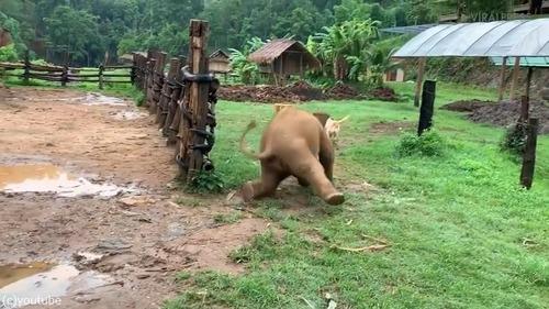 ワンコを追いかけようとして滑る赤ちゃんゾウ03