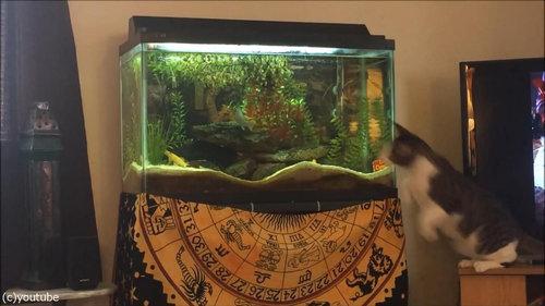 水槽を狙う猫02