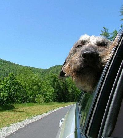 車の風と犬12