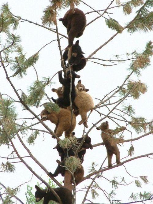 子グマの木登り07