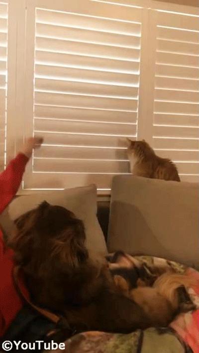 お外を見たい猫 VS ブラインドを閉めたい飼い主さん04