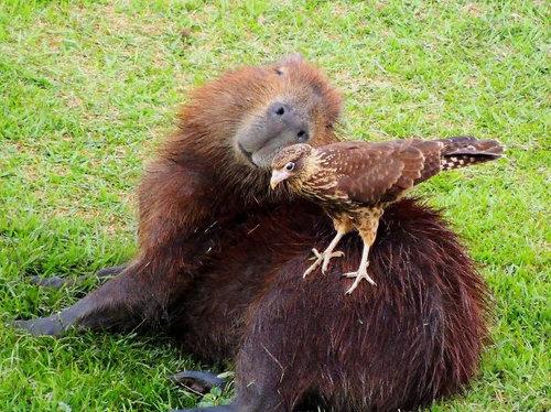 他の動物と仲良しのカピバラ12