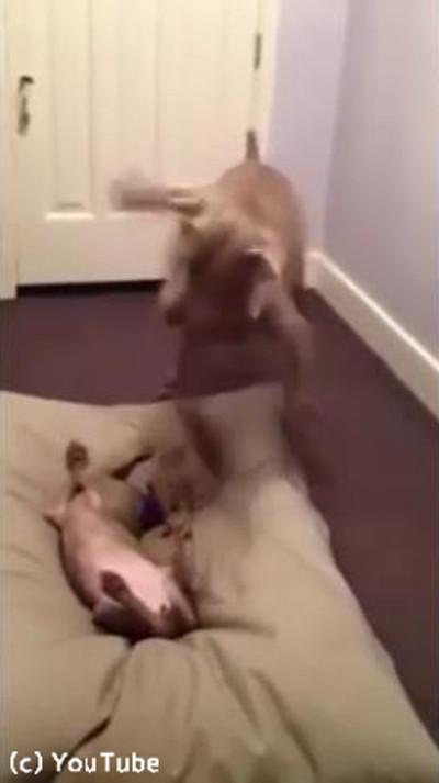 お兄ちゃんのベッドを奪う子犬03