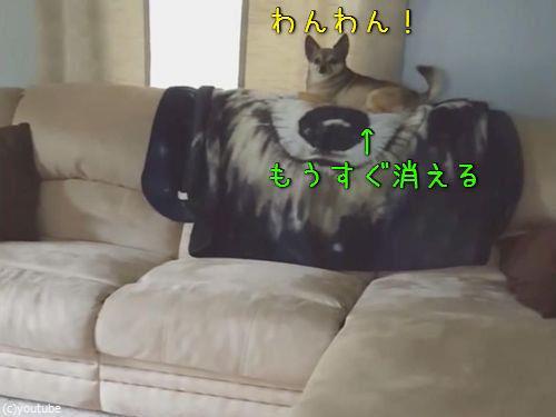 ソファの上の犬が消える00