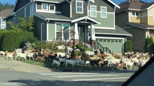 住宅地でヤギが大脱走すると01