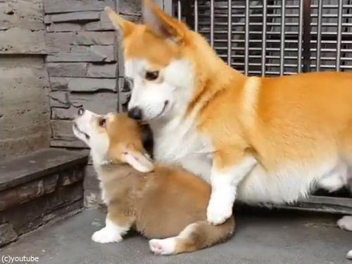 子犬に座り方を教えるコーギーの親01