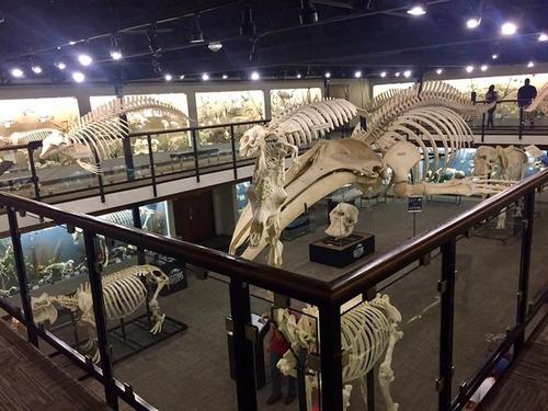 キングコブラの骨格が02