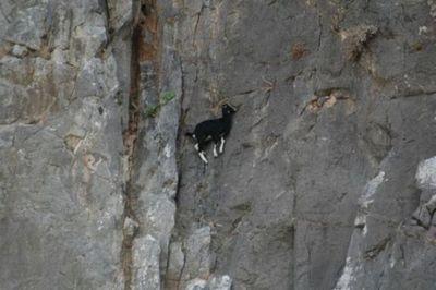 ヤギの崖を登る能力08