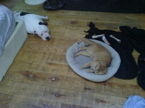 猫にベッドを奪われる犬たち10