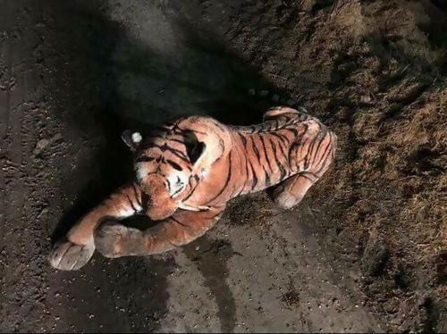 スコットランドの牛小屋に虎の通報04