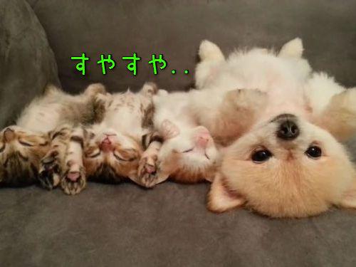 子猫と子犬をあお向けに寝かせると00