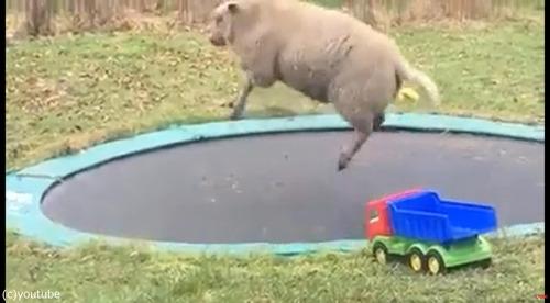トランポリンで遊ぶ羊04