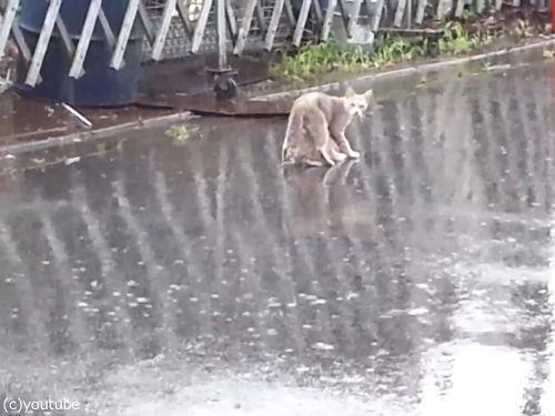 雨の日に子猫をくわえて走る母猫05
