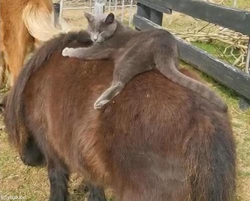 猫、ポニーにまたがる01