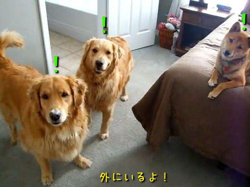 ご主人を迎える3匹の犬