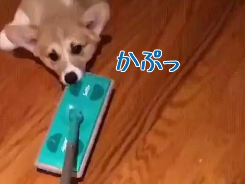 お掃除コーギー00