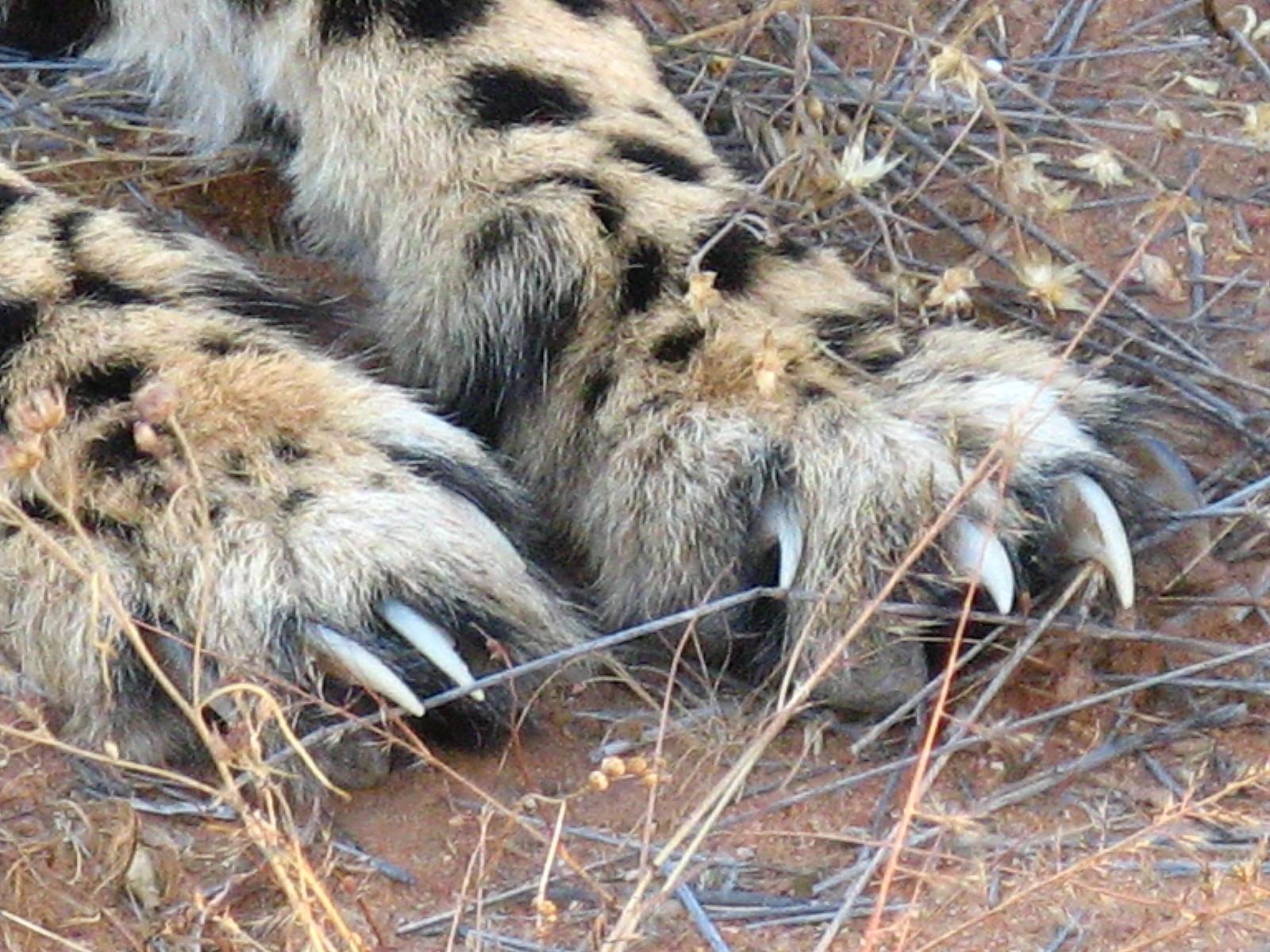 チーターの爪
